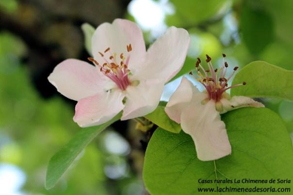 flor membrillo