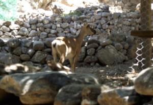 """Cabra salvaje endémica de Creta, conocida como """"kri kri"""""""