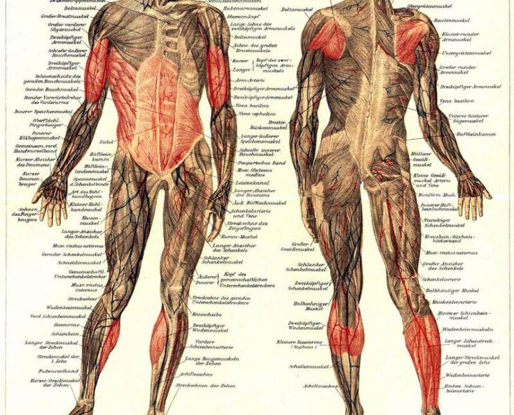 Die-sekundäre-Muskulatur