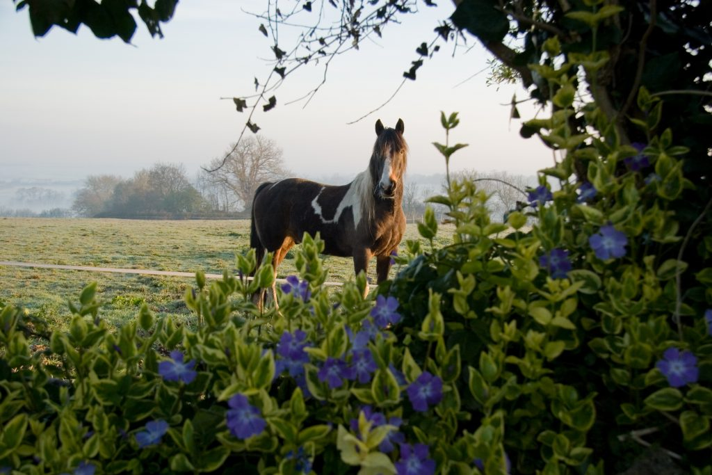 A horse looking across the field to normandy farmhouse