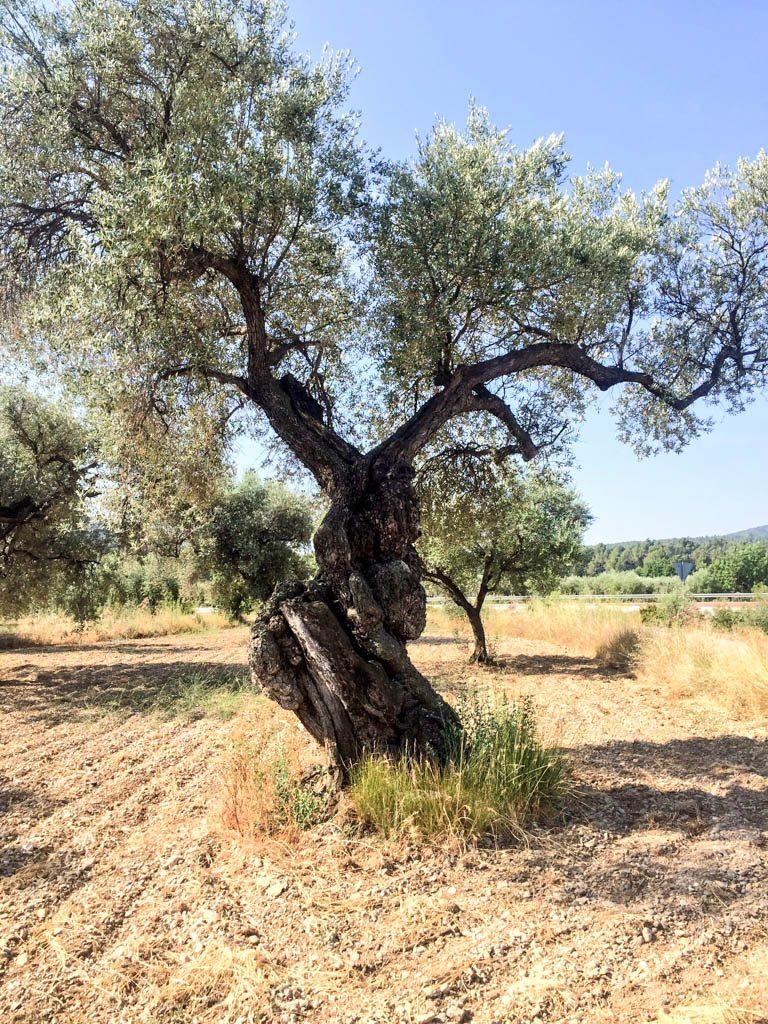 Olive tree in castellon