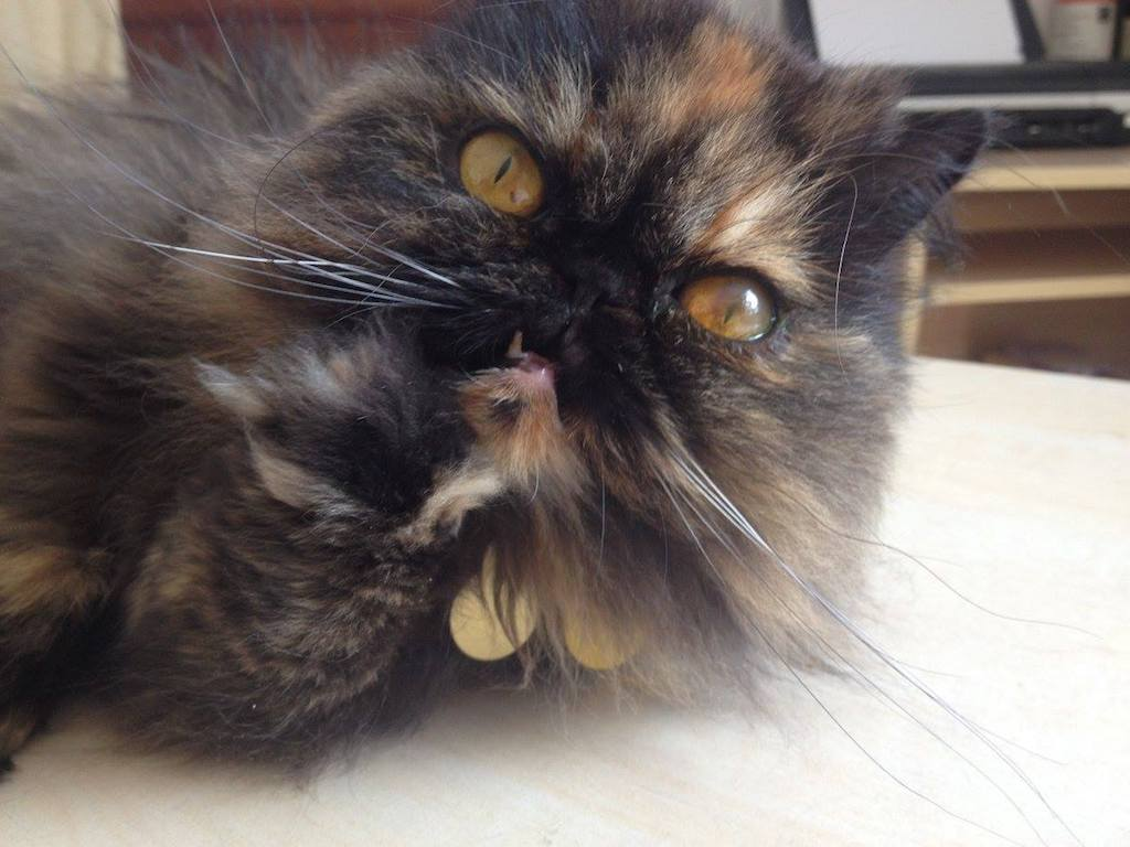 Ella the persian cat