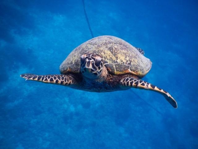 Gili zeeschildpad