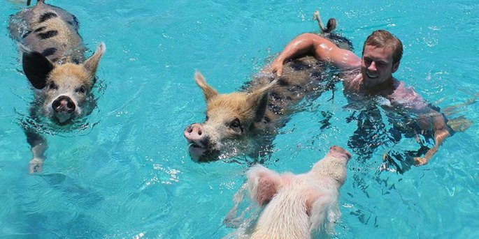 Lee Walpole swimming with pigs in the Bahamas at Pig Bay