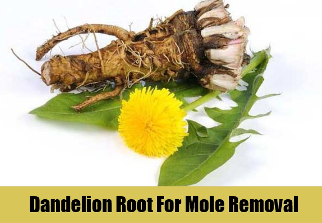 Dandelion Root For Mole Removal
