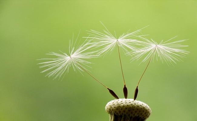 Dandelion seeds For Fibroids In Uterus