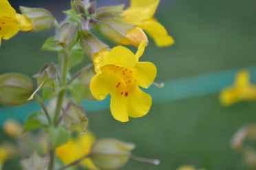 La fleur de la semaine : Mimulus, la fleur du courage