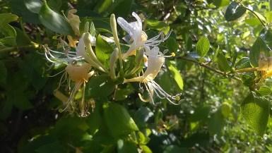 La fleur de la semaine : Honeysuckle, la fleur du passé assimilé