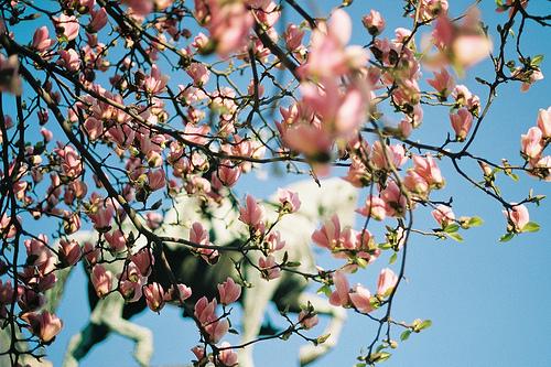 Cerisiers-en-fleurs.jpg