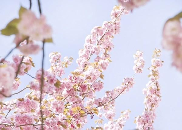 cerisiers en fleur - photo Celine Marks - La Fiancee du Panda Blog Mariage et Lifestyle