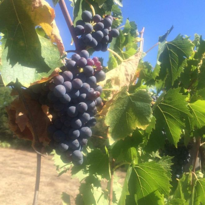 grapes at Statiano