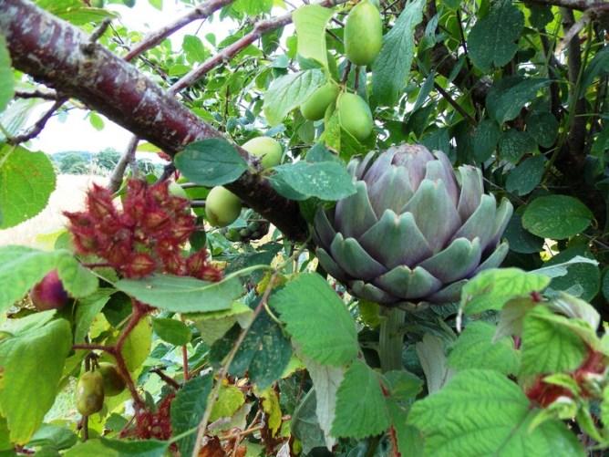 Association morphologique : artichaut, prunier et framboise Tayberry