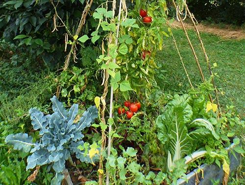 Jardin-foret-nourriciere-avec-des-tomates