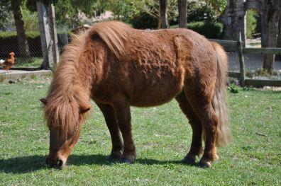 Le poney Tartine