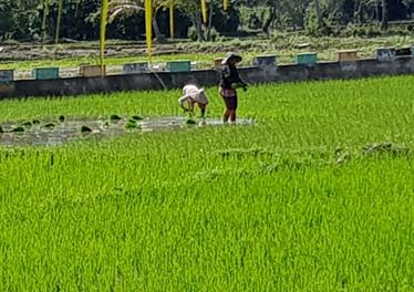 rice fieldsp