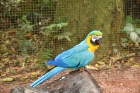 peroquet bleu