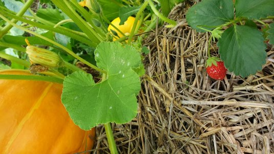Pumpkins and strawberries grow well together