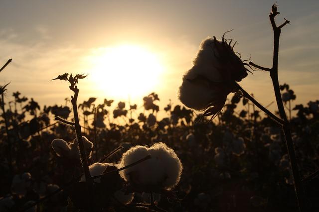 champs de coton biologique