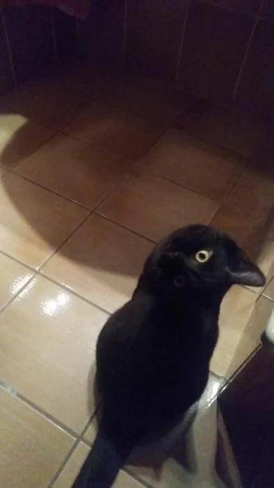 imágenes confusas gato cuervo