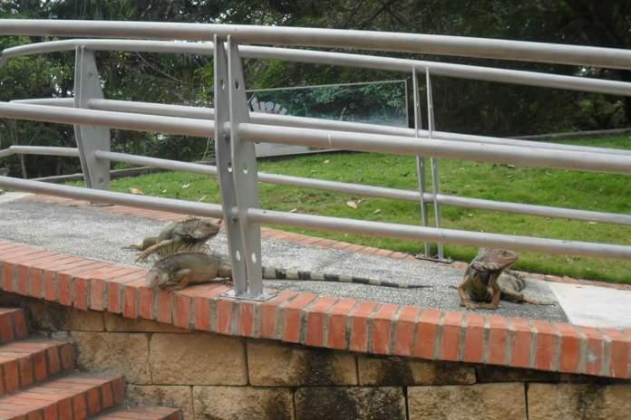 iguanas en la ronda del sinu de Monteria