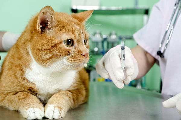 vacunacion a gatos