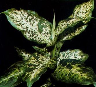 Fotografía de la planta Difenbaquia manchada