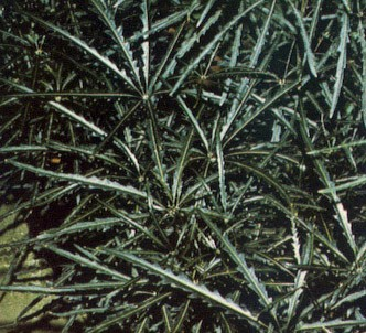 Fotografía de la planta Dicigoteca