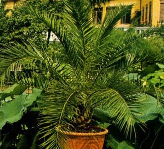 Fotografía de la planta Palma de Canarias