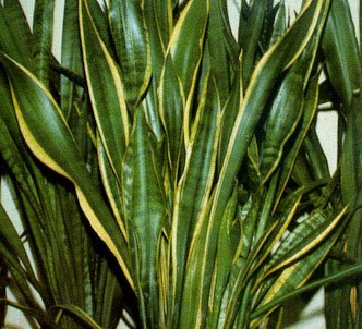 Fotografía de la planta Sanseviera