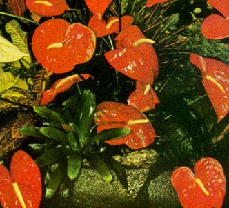Fotografía de la planta Anturio