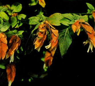 Fotografía de la planta Beloperone