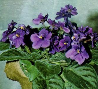 Fotografía de la planta Violeta africana