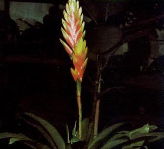 Fotografía de la planta Vriesia