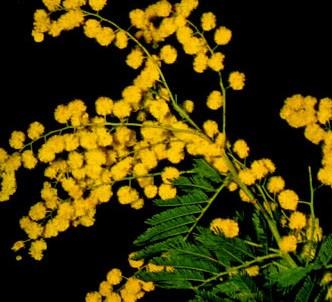 Fotografía de la planta Mimosa común