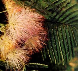 Fotografía de la planta Acacia de Constantinopla