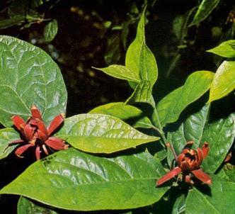 Fotografía de la planta Calicanto de Florida