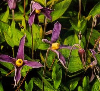 Fotografía de la planta Clemátide de hoja entera