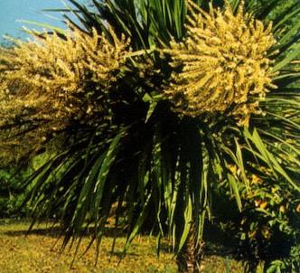 Fotografía de la planta Cordiline I.