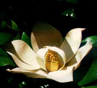 Fotografía de la planta Magnolia