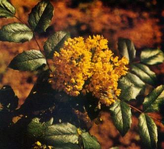 Fotografía de la planta Mahonia