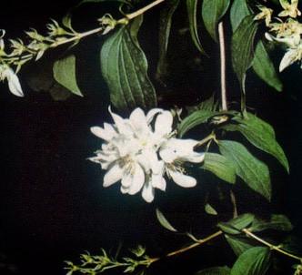 Fotografía de la planta Celinda