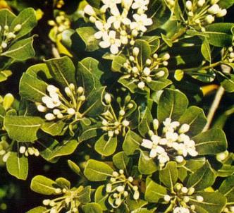 Fotografía de la planta Pitosporo - Azahar de la china