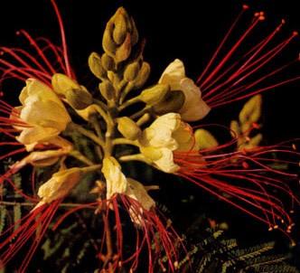Fotografía de la planta Poinciana