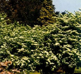 Fotografía de la planta Viburno lanudo