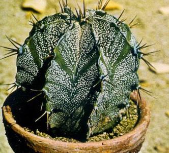 Fotografía de la planta Mitra