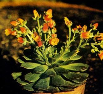 Fotografía de la planta Echeveria