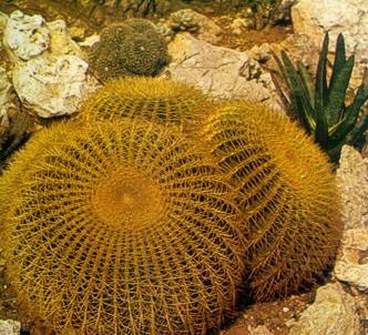 Fotografía de la planta Asiento de la suegra