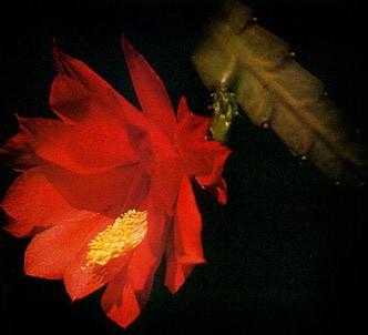 Fotografía de la planta Epifilo