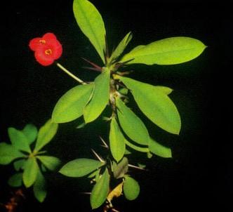 Fotografía de la planta Espina de Cristo