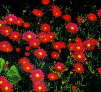 Fotografía de la planta Lampranthus